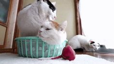 Didnt Leave Any Choice Animals And Pets, Baby Animals, Funny Animals, Cute Animals, Cute Cat Gif, Funny Cute, Cute Cats, Funny Pics, Funny Animal Videos