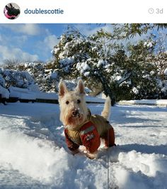 Scottie Mom: Scottish Terriers of Instagram: February 2