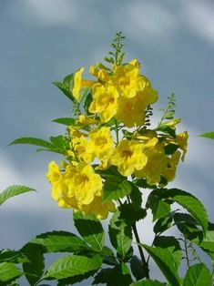 'Gold Star' esperanza earned its Texas Superstar status with yellow flowers during intense heat and drought. Texas Landscaping, Natural Landscaping, Landscaping Plants, Landscaping Ideas, Sun Plants, Hardy Plants, Blooming Plants, Yellow Plants, Esperanza Plant