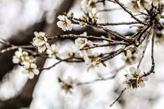Almonds in bloom, Noto, Sicily, Italy. by Vanigliacooking