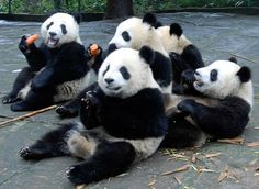 """The panda at the back right hand side is probably saying """"Get off my toe, you big lug!""""❤️❤️❤️❤️❤️❤️"""