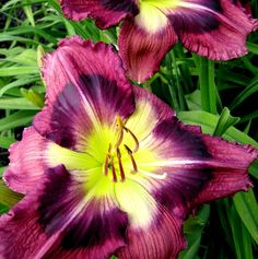 Southern Shiner, diploid daylily from BROWNS FERRY GARDENS... The Daylilies Of Charles Douglas
