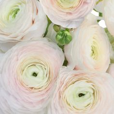 Add soft romance to elegant bridal arrangements with Blush Italian Cloony Ranunculus. This classic flower showcases layers of tissue-like petals slowly unfurlin Ranunculus Flowers, White Ranunculus, Wax Flowers, Peach Flowers, Beautiful Flowers, Ranunculus Wedding, Bouquet Flowers, Sugar Flowers, Flowers Garden