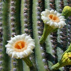 Saguaro Cactus.  Native to the Sonoran Desert in Arizona.