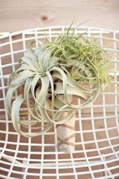 Air Plant Bouquet. Perfect mix of modern, rustic, and just plain awesome. #Weddingbouquet #Airplantbouquet