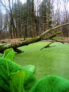 Moss? Algae? Covered Pond in Slippery Rock, PA