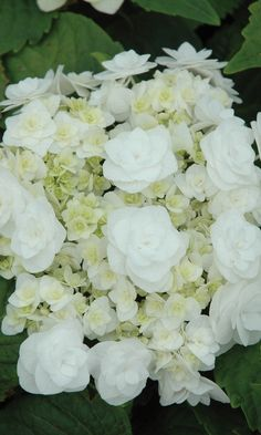~Wedding Gown Hydrangea - Earlier to bloom than other hydrangeas. Blooms time-and-again from midsummer until frost. Beautiful white double blooms against dark green to mid-green foliage. Plant in a shade garden or add it to a container and it will become a pretty focal point on your patio. Height: 3-4 ft. Width: 3-4 ft. Water: Moist, but well-drained soil Blooms: Summer Exposure: Partial Shade Hardiness: Zone 5
