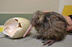 Newly hatched Kiwi chick (Auckland Zoo, New Zealand) : aww