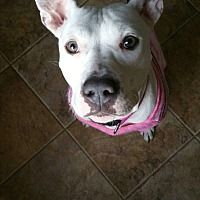 AMSTERDOG - Pictures of Darlin a Pit Bull Terrier for adoption in New York, NY who needs a loving home.
