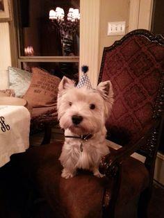 westie puppy party.