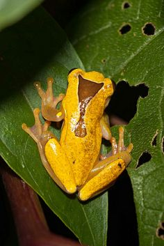 Triangle Tree Frog, upper Amazon Basin of Bolivia