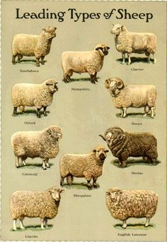 Leading types of sheep illustration Farm Animals, Animals And Pets, Cute Animals, Types Of Animals, Sheep Art, Sheep Wool, Baa Baa Black Sheep, Sheep Breeds, Sheep And Lamb
