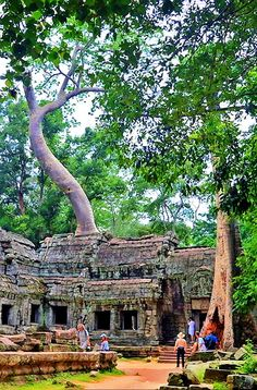 A seed deposited on the top of one of the temples at Angkor Wat has found a way to sprout and grow with no contact with the earth for water and nutrients. #photo #photography #travel
