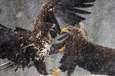 "PHOTOS: Best Wild Animal Photos of 2008 Announced National Geographic Winner, ""Animal Behavior: Birds"" Category    A snowy clash of white-tailed eagles during a Polish winter is among the winning images in the 2008 Wildlife Photographer of the Year competition, organized by BBC Wildlife Magazine and London's Natural History Museum.     Photographer Antoni Kasprzak"