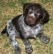 Happy Birthday...anniversary...Mother's Day... PLEASE german wirehaired pointer puppy