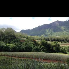 Pineapple field in Moorea, Tahiti
