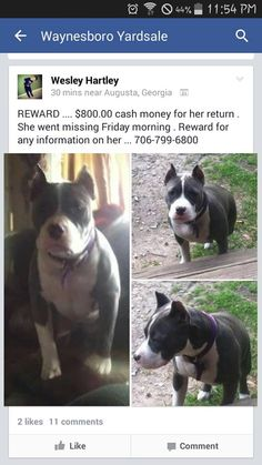 Pet Stolen in Augusta GA - Please Share Far and Wide - Family Wants Her Back Stolen from Augusta, rumoured to be for sale in Burke County. Pitbull Pictures, Puppy Mills, Cool Pets, Animals Of The World, Losing A Pet, Animal Welfare, Shelter Dogs, Bullies, Pit Bull
