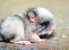 really cute though! Baby chinchilla, maybe? Or a baby hamster? Cute Baby Animals, Animals And Pets, Funny Animals, Small Animals, Wild Life, Chinchilla Cute, Little Critter, Cute Creatures, Cool Pets