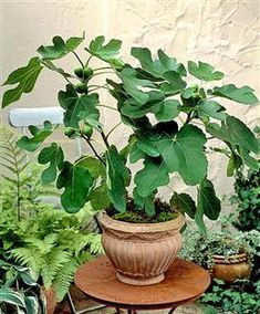 De vijgenboom - zonliefhebber en snelgroeiende lekkernij - New Ideas Fruit Garden, Garden Pots, Vegetable Garden, Balcony Garden, Ficus Carica Brown Turkey, Container Plants, Container Gardening, Fig Tree Plant, Growing Fig Trees