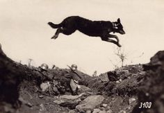 A messenger dog leaps over a German trench during the First World War, 1915. Dogs were often used to carry information at the front.