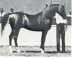 amerigo -- 50% Crabbet, 1966 U.S. National Reserve Champion stallion, sire of Khemosabi+++ (young age, before he started greying)