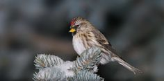 A Winter Visitor, Common Redpoll | Flickr - Photo Sharing!
