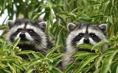 Download wallpapers raccoons, forest, tree branch, forest inhabitants, cute animals, raccoon