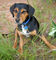 Mia - Beagle Ro...