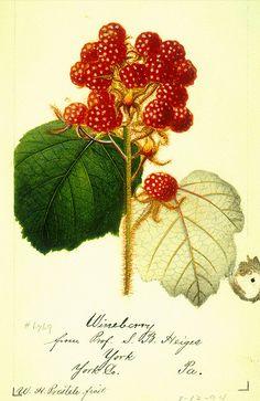 Wineberry Raspberry