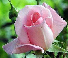 Budding rose ! Rose, Flowers, Plants, Pink, Roses, Flora, Plant, Royal Icing Flowers, Flower