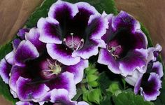 Gloxinia, this plant is gorgeous! Article on caring for potted plants
