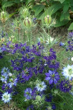 Throughout summer extra-large, deep blue flowers appear amid the decorative, finely-cut foliage. This tall #love-in-a-mist is perfect for a sunny, well-drained cottage-garden border or wildflower meadow. It is extremely easy-to-grow, and the dried seed-heads are valuable for use in winter flower arrangements.