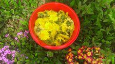 Tym razem pod lupę wzięliśmy syrop z kwiatów mniszka lekarskiego, który pomaga  na dolegliwości układu trawiennego, ogólne przygnębienie i zmęczenie czy inne dolegliwości. Szczegółowy opis wraz z przygotowaniem i zastosowaniem znajdziecie już na naszym blogu ;) http://ymt24.pl/syrop-z-kwiatow-mniszka-lekarskiego #przepis #mniszek #syrop #przeziębienie