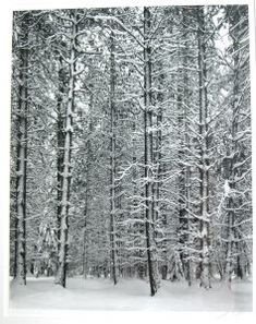 """Ansel Adams """"Pine Forest In Snow"""""""