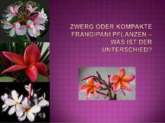 Unteschied zwischen Zwerg und kompakten Frangipani, Plumeria Pflanzen.