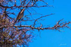 🐦🕊🌿#fotonovato #fotoamateurchile #ave #arboles #azul Bird, Animals, Blue Nails, Animales, Animaux, Birds, Animal, Animais