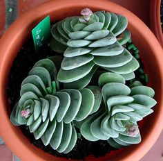Crassula 'Coralita'  - another gorgeous succulent.