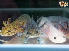 Axolotl / Mexican Walking Fish | Blackpool, Lancashire | Pets4Homes