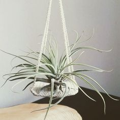 Tillandsia Oaxacana in her new crochet nest <3