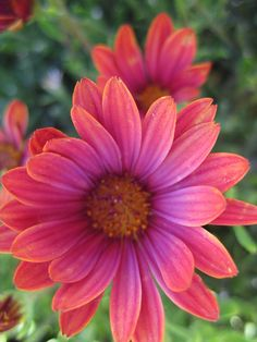 Osteospermum hybrid 'Sunny Sheila'!!! Bebe'!!! Beautiful pink colored specimen...just a lovely shade of pink!!!