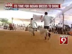 NEWS9: It is time for Indian Breeds to shine - http://www.baubaunews.com/bau-blog/news9-it-is-time-for-indian-breeds-to-shine/ http://img.youtube.com/vi/RVX3m-xC1SA/0.jpg