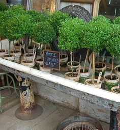 Topiaries! I would LOVE one! (or two) I've wanted one FOR SO MANY YEARS! Ljb:)
