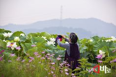 <<시흥관곡지의 여름풍경>> 시흥연꽃테마파크에서 (뉴스바로 장덕수 기자 2014.7.9)