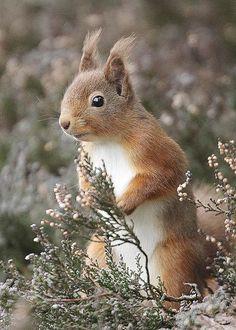 """llbwwb: """" red squirrel (by harrybursell) """""""