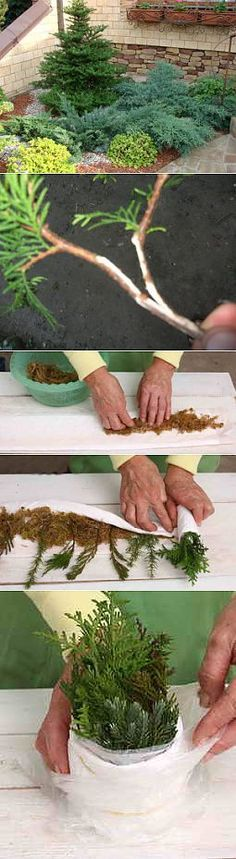 Propagating by cuttings conifers. Container Gardening Vegetables, Vegetable Garden, Garden Terrarium, Garden Plants, Outdoor Plants, Outdoor Gardens, Plantas Bonsai, Garden Nursery, Bonsai Plants