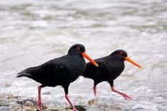 oyster catcher bird - Google Search