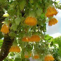 Dendroseris Litoralis - Juan Fernandez Cabbage tree