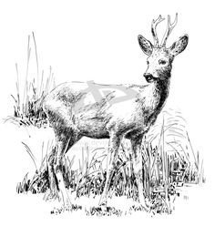 roe_deer__by_old_craftsman.jpg (900×946)