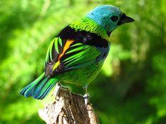 Foto saíra-sete-cores (Tangara seledon) por Rafael Henrique Bianchini | Wiki Aves - A Enciclopédia das Aves do Brasil