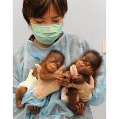 Baby Bornean orangutans - wish I could have her job!!